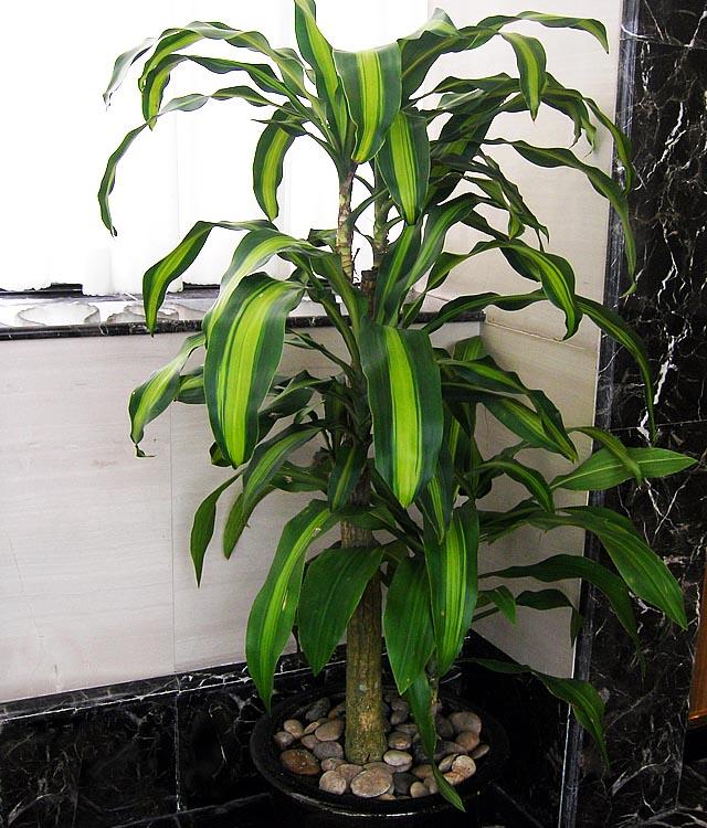 巴西铁植物养护/巴西铁图片/成都植物租赁