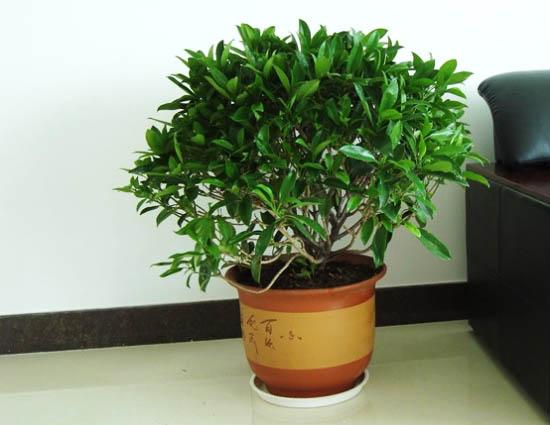 中型非洲茉莉图片/成都植物租赁